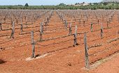 picture of grape  - Grape Vineyard field with grape plants in a row from Crete island in Greece - JPG