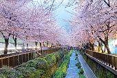 stock photo of night-blooming  - cherry blossoms at night - JPG