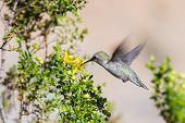 picture of hummingbirds  - small Anna - JPG