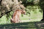 picture of cheetah  - young cheetah in the afternoon on green grass in a zoo in California - JPG