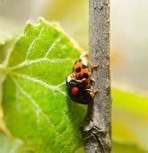 stock photo of mating  - The mating of Two ladybird on poplar - JPG
