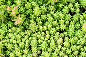 pic of angiosperms  - A variety of Stonecrop or Crassula a nice succulent plant - JPG