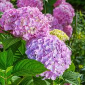picture of hydrangea  - Hydrangea plant in the home garden - JPG