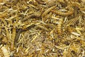 pic of worm  - full frame background of larva worms mixing with dirt and bran