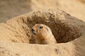 image of prairie  - photo of an alert little prairie dog - JPG