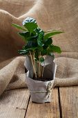 picture of coffee coffee plant  - coffee plant tree in paper packaging on sackcloth wooden background - JPG