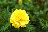 foto of marigold  - Yellow marigolds in the garden close up - JPG