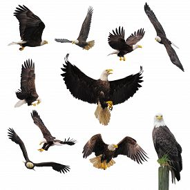 foto of eagles  - Bald eagles isolated on the white background - JPG