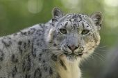 picture of panthera uncia  - Snow leopard portrait with green out of focus background - JPG