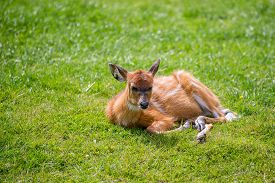 picture of bongo  - Eastern Bongos Calf deer like hooved mamal pictured on grass - JPG