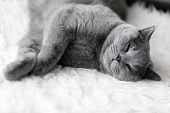 Young cute cat sleeping on cosy white fur. The British Shorthair pedigreed kitten with blue gray fur poster