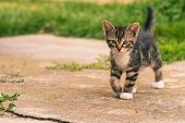 Nice Dark Tabby Kitten With Paws Walks On Concrete poster