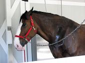 stock photo of clydesdale  - Picture of a Clydesdale horse getting a bath - JPG