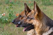 image of german shepherd dogs  - Two heads of German shepherds on a background of a field - JPG