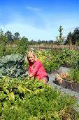 Woman gardener tending to vegetables in a community garden plot.  poster