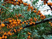 Branch Of Orange Sea Buckthorn Berries. Sea-buckthorn On The Tree .sea Buckthorn Berries On The Bran poster
