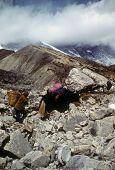 foto of sherpa  - Sherpa porter and yak carrying loads Chyungma Pass in Khumbu Himalaya Nepal  - JPG