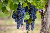 Close Up Of Red Merlot Grapes In Vineyard. St Emilion, Gironde, Aquitaine. France poster