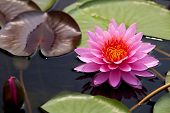 picture of water lilies  - Pink lotus with reflextion and clear water - JPG
