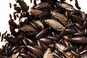 foto of swarm  - A swarming infestation of cockroaches of all ages - JPG