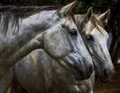 stock photo of hackney  - Grey Horses at the bonython park grounds - JPG