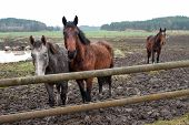 stock photo of gruesome  - Young horses enduring their first November in Sweden - JPG