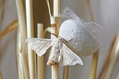 stock photo of silk worm  - silk moth coming out of a cocoon on straws - JPG