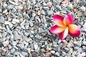 Pink Plumeria Flowers On Pebbles