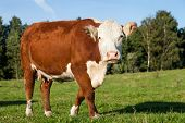 stock photo of hereford  - Hereford cow walking and grazing on the meadow - JPG
