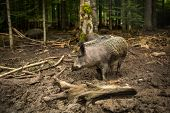 stock photo of boar  - Wild boar  - JPG