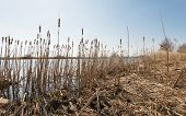 pic of cattail  - River banks with blooming stems of Broadleaf Cattail or Typha latifolia - JPG