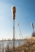 stock photo of cattail  - Closeup of a blooming stem of a Broadleaf Cattail or Typha latifolia palnt on the banks of a river and against a deep blue sky - JPG
