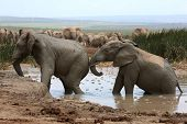 picture of elephant ear  - African elephants cooling off and playing in muddy water - JPG