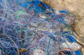 Blue Crabs  Trapped In Fishnet