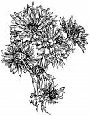 stock photo of chrysanthemum  - Bunch of chrysanthemum flowers is hand drawn and live traced - JPG
