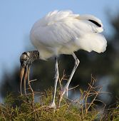 image of wetland  - Nesting Woodstork in the wetlands of south Florida - JPG
