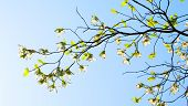 stock photo of dogwood  - Branches of dogwood  - JPG