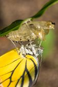 stock photo of cocoon  - Young butterfly leave out of the cocoon  - JPG