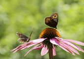 image of gatekeeper  - Couple of Gatekeeper butterflies on a pink cone - JPG