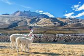 stock photo of andes  - Two white llamas with a dramatic volcano rising in the background in the town of Coqueza near Uyuni Bolivia