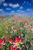 picture of bluebonnets  - Field of Bluebonnets and Indian Paintbrush Wildflowers Near Ennis TX - JPG
