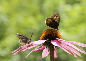 picture of gatekeeper  - Couple of Gatekeeper butterflies on a pink cone - JPG