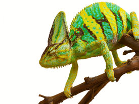 stock photo of chameleon  - chameleon on a branch on a white background