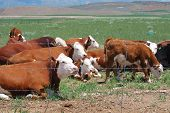 picture of hereford  - Hereford cattle grazing behind a wire fence - JPG