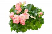 picture of begonias  - Pink begonia flower isolated on white background - JPG