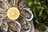 picture of oyster shell  - fresh French appetizer oysters on ice with lemon - JPG