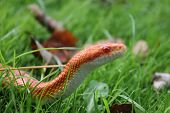 foto of jungle snake  - Albino Snake  - JPG