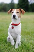 image of jack russell terrier  - Parson Jack Russell Terrier lifting his paw - JPG
