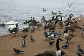 stock photo of avian flu  - Many ducks birds and gooses at london park - JPG