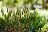 image of spiky plants  - Close up low angle view of fresg green spiky flowering grass or cereal inflorescences in a field or pasture